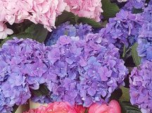 All about the hydrangeas and peonies today at Columbia Roadhellip